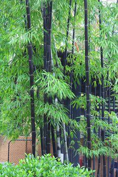 Bambusa lako / Timor Black Bamboo - All About Bamboo Bamboo, Black Bamboo, Bamboo Plants, Outdoor Plants, Outdoor Gardens, Tropical Landscaping, Tropical Garden, Bamboo Landscape, Bamboo Species