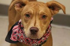 NAME: Deek ANIMAL ID: 28175969 BREED:Am Staff SEX: male EST. AGE: 8 mos Est Weight: 34 lbs Health: heartworm neg Temperament: dog friendly, people friendly ADDITIONAL INFO: RESCUE PULL FEE:$49 Intake date: 6/20 Available: now