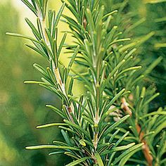Rosemary and its Magical Uses