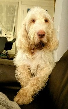 Spinone my love