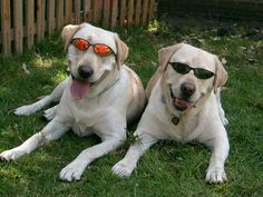 dogs with sunglasses images - Google Search