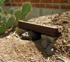 The Desert Tortoise requires a snug fitting habitat since they spend 95% of their lives underground. If caregivers do not build it properly, a tortoiuse will build it themselves, often digging 5-10 feet under foundations, septic systems, etc. If you are going to keep a desert tortoise, know what you are doing.
