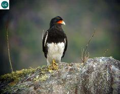 https://www.facebook.com/WonderBirdSpecies/ Mountain Caracara (Phalcoboenus megalopterus); South America; IUCN Red List of Threatened Species 3.1 : Least Concern (LC)(Loài ít quan tâm) || Caracara núi/Chim Cắt kền kền núi; Nam Mỹ; HỌ CHIM CẮT-FALCONIDAE (Falcons and Caracaras).