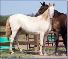 Holmes Farm - Missouri Breeders of Tennessee Walking Horses - Sarah's Cream Jewel