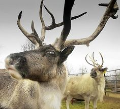 It's Donder's turn to play in the reindeer tax tip games. He says don't forget to harvest your capital losses. (Reindeer via pointcounterpointpointpoint blog)