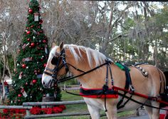 Clydesdale Christmas Sleigh   Luke, a Belgian horse, is dressed in seasonal attire for our ride.