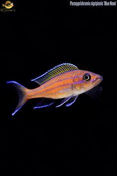Paracyprichromis_nigripinnis
