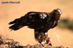Una de las águilas adultas que siguen visitando nuestras sesiones de fotografía de la naturaleza.