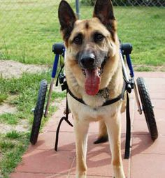 paralyzed german shepherd dog wheelchair. My 12 1/2 year old GSD has Degenerative Myolopathy. It has destroyed the spinal column from mid back to hips. There is no pain. He drags himself around to play or uses a wheelchair to run in the yard.
