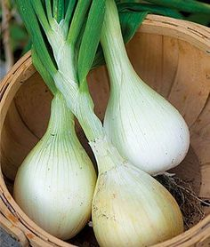 10 veggie plants for fall.  Many types of onions can be planted in fall and allowed to overwinter for an early summer harvest.