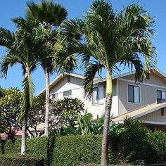 Grow Your Own Delicious Coconuts At Home - The Coconut Palm is one of the most popular palm tree varieties in the world because it makes large, savory coconuts. Plus, they will grow outdoors as well as inside in a container, making it possible to grow your own coconuts even if you live up North. By placing your Coconut Palm in a...