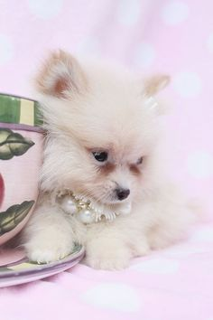 Tiny Teacup Pomeranian puppies available in our store.Your Micro Teacup Pomeranian puppy is conveniently small and cute. Find your tiny Pomeranian ur boutique. Teacup Puppies, Cute Puppies, Dogs And Puppies, Animals And Pets, Baby Animals, Cute Animals, Animal Fun, Beautiful Dogs, Animals Beautiful