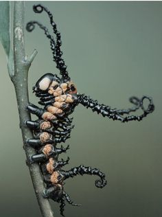 A Brahmin moth caterpillar...looks like a Tim Burton creation