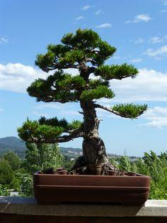 #bonsai pino japones cinco agujas pentaphilia