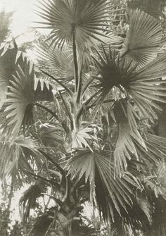 onyxearth: The borassus palm / 1906 Night Of The Iguana, Still Life Images, Fan Palm, Plants Are Friends, Different Plants, New York Public Library, Wedding Stationary, Still Image, Palm Trees