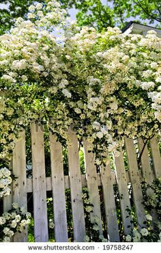White fence with blooming bridal wreath spirea