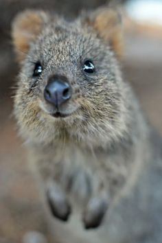A quokka on Rottnest Island, just 20 minutes from Perth in Western Australia. Quokka's are known as the happiest animals in the world, as they have a natural smile! Happy Animals, Cute Funny Animals, Animals And Pets, Worlds Cutest Animals, Animals Of The World, Quokka Animal, Rotten, Australian Animals, Animal 2