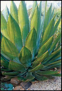 A. bovicornuta