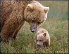 llbwwb:  mother bear and cub (by Mac Danzig Photography)