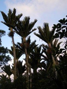 Nikau palms, Rhopalostylis sapida, in the Chatham Islands, New Zealand. These are the southernmost naturally occurring palms in the world, as far south of the equator (44 degrees) as Eugene, Oregon, and Toronto, Canada, are north of the equator.