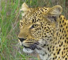 Leopard on the Prowl by Cyril Furman  LPSSA - fb.me/1.Yebo.Seo My Style, Seo, Photography, Animals, Photograph, Animales, Animaux, Fotografie, Photoshoot