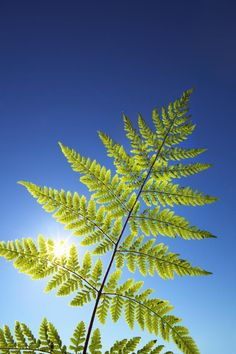 Why Is Chlorophyll Green?: Leaves appear green because chlorophyll absorbs the red and blue of the spectrum.