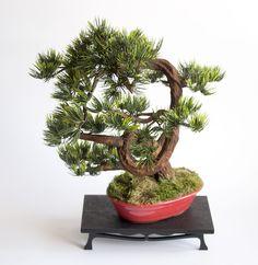Bonsai zokei pine. Bonsai, Pine, Dragon, Plants, Pine Tree, Dragons, Plant, Planets, String Garden