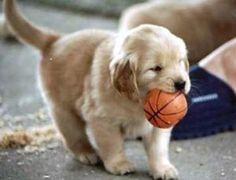 Golden Retriever playin' ball...