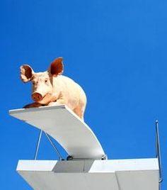 pig diving