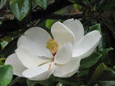 Resultado de imagen para magnolias