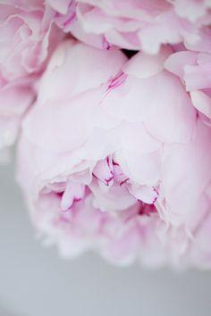 Pink peony.