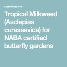 Tropical Milkweed (Asclepias curassavica) for NABA certified butterfly gardens