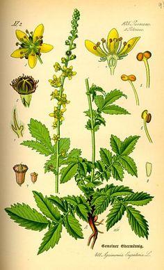 Fleurs de Bach Original - Aigremoine (Agrimony) - 20 ml Botanical Drawings, Botanical Illustration, Botanical Prints, Bach Flowers, Wild Flowers, Healing Herbs, Medicinal Plants, Herbal Medicine, Natural Cures