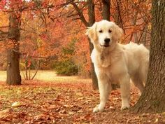 Nothing more beautiful than a golden retriever in the fall! no fall in FL but sure looks like my girl! Retriever Puppy, Dogs Golden Retriever, Golden Retrievers, Cute Dogs And Puppies, I Love Dogs, Doggies, Best Dog Breeds, Best Dogs, Orange Kittens