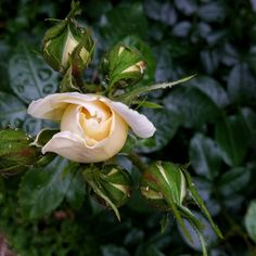 Last of rose buds for today.