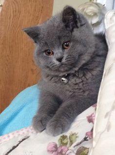 British Blue Shorthair Female kitten 14 Weeks