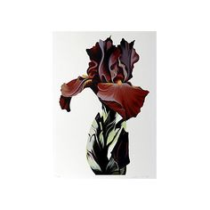 Pre-Owned Burgundy Iris by Lowell Blair Nesbitt ($425) ❤ liked on Polyvore featuring home, home decor, wall art, unframed wall art, flower stem, american home decor, flower wall art and flower home decor