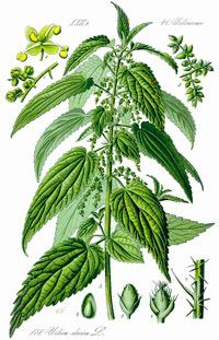 Stinging nettle is one example of the most neglected miracles among the plant kingdom. Stinging nettles accumulate a large variety of nutrients from the soil such as sulfur, nitrogen, calcium, potassium, iron and copper. Stinging nettles contain minerals as well as vitamins (A and C) and are beneficial for both humans as well as the soil.    Stinging nettles clean the blood, the kidneys, the liver and even the cells. But stinging nettles can also be used in surface composting by covering the…