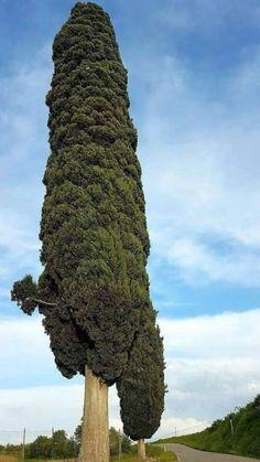 Giant green cotton swabs