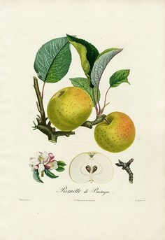 Pomme Reinette de Bretagne :: art style. Pick fruit that is grown in the surrounding orchards.