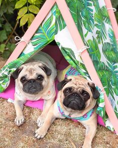 """Excellent """"pug puppies"""" info is available on our internet site. Have a look and you wont be sorry you did. Animals And Pets, Baby Animals, Cute Animals, Pug Love, I Love Dogs, Dog Pictures, Cute Pictures, Pug Puppies, Chihuahua"""