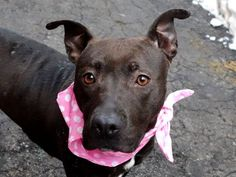 KILLED 5/17/2015 by adopter bc. husband dislike her ---  SAFE 3/7/15 --- Manhattan Center   CORALINE - A1026881   FEMALE, CHOCOLATE / WHITE, PIT BULL MIX, 10 mos STRAY - STRAY WAIT, NO HOLD Reason STRAY  Intake condition EXAM REQ Intake Date 01/31/2015 https://www.facebook.com/photo.php?fbid=955319871147559