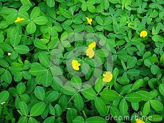 The creeping peanut is a genus of flowering plants in the family plant of the creeping peanut with small yellow flowers stock image image 106144589 mightylinksfo