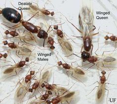 Florida Carpenter Ants, the ones with wings are also known as Carpenter Ant Swarmers.