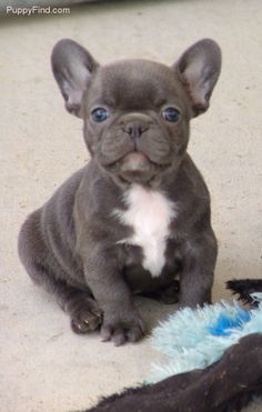 Frenchies are too cute, just look at those ears!