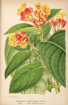 v.17 (1870) - L'Illustration horticole : - Biodiversity Heritage Library