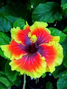 ~Hybiscus Tahitian Lion Queen - Gardens For Life