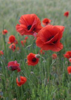poppies – Famous Last Words Container Gardening Vegetables, Container Plants, Succulent Containers, Container Flowers, Vegetable Gardening, Wild Flowers, Beautiful Flowers, Summer Flowers, Poppy Photography