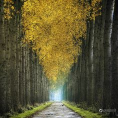Endless tree lined path with golden leaves