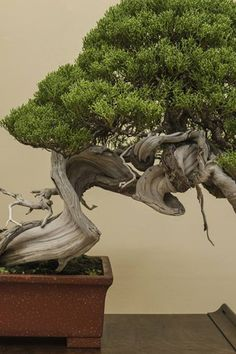 Shimpaku, like Japanese black and white pines, are very popular in Japan.